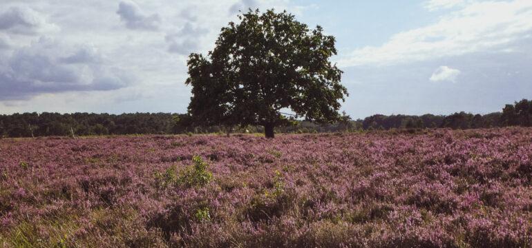 De Kalmthoutse Heide